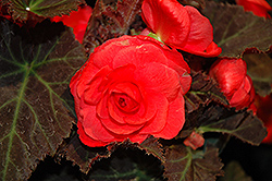 Nonstop® Mocca Cherry Begonia (Begonia 'Nonstop Mocca Cherry') at Chalet Nursery