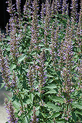 Purple Haze Hyssop (Agastache 'Purple Haze') at Chalet Nursery