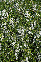 Angelface® White Angelonia (Angelonia angustifolia 'Angelface White') at Chalet Nursery