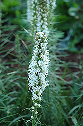 White Blazing Star (Liatris spicata 'Alba') at Chalet Nursery