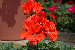 Presto Dark Salmon Geranium (Pelargonium 'Presto Dark Salmon') at Chalet Nursery