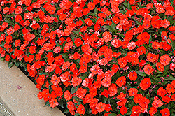 SunPatiens® Compact Electric Orange New Guinea Impatiens (Impatiens 'SunPatiens Compact Electric Orange') at Chalet Nursery