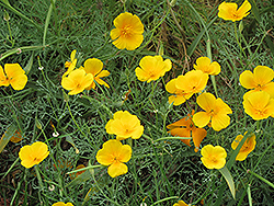 California Poppy (Escholtzia californica) at Chalet Nursery