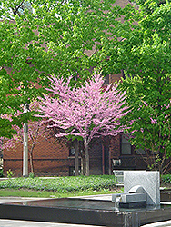 Eastern Redbud (tree form) (Cercis canadensis '(tree form)') at Chalet Nursery