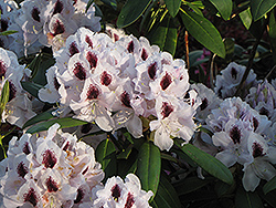 Calsap Rhododendron (Rhododendron 'Calsap') at Chalet Nursery