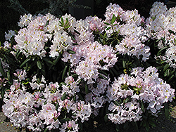 White Catawba Rhododendron (Rhododendron catawbiense 'Album') at Chalet Nursery