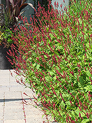 Fire Tail Fleeceflower (Persicaria amplexicaulis 'Fire Tail') at Chalet Nursery