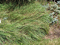 Blue Sedge (Carex flacca) at Chalet Nursery