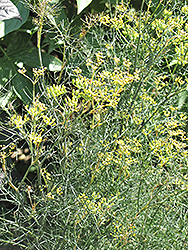 Bronze Fennel (Foeniculum vulgare 'Purpureum') at Chalet Nursery