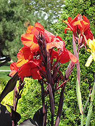 Cleopatra Red Canna (Canna 'Cleopatra Red') at Chalet Nursery