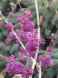 Profusion Beautyberry (Callicarpa bodinieri 'Profusion') at Chalet Nursery