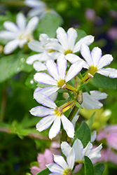 Whirlwind® White Fan Flower (Scaevola aemula 'Whirlwind White') at Chalet Nursery