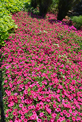 Supertunia Vista® Fuchsia Petunia (Petunia 'Supertunia Vista Fuchsia') at Chalet Nursery