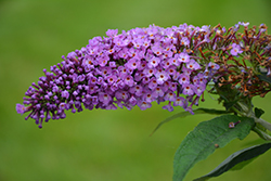 Pugster® Periwinkle Butterfly Bush (Buddleia 'SMNBDO') at Chalet Nursery