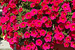 Cabaret® Cherry Rose Calibrachoa (Calibrachoa 'Cabaret Cherry Rose') at Chalet Nursery