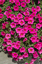 Million Bells® Trailing Magenta Calibrachoa (Calibrachoa 'Million Bells Trailing Magenta') at Chalet Nursery