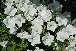 Surfinia® White Petunia (Petunia 'Surfinia White') at Chalet Nursery