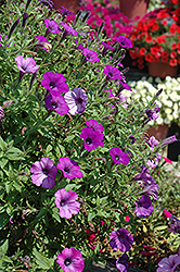 Supertunia® Indigo Charm Petunia (Petunia 'Supertunia Indigo Charm') at Chalet Nursery