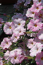SuperCal® Blushing Pink Petchoa (Petchoa 'SuperCal Blushing Pink') at Chalet Nursery