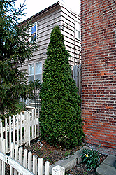 Dark Green Arborvitae (Thuja occidentalis 'Nigra') at Chalet Nursery