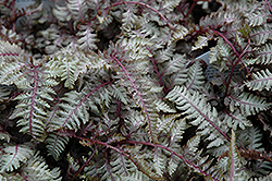 Regal Red Painted Fern (Athyrium nipponicum 'Regal Red') at Chalet Nursery