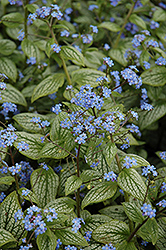 Silver Heart Bugloss (Brunnera macrophylla 'Silver Heart') at Chalet Nursery