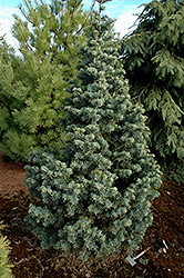 Compact White Fir (Abies concolor 'Compacta') at Chalet Nursery