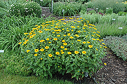 Tuscan Sun False Sunflower (Heliopsis helianthoides 'Tuscan Sun') at Chalet Nursery