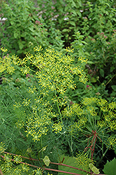 Dill (Anethum graveolens) at Chalet Nursery