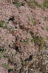 Rock 'N Grow® Pure Joy Stonecrop (Sedum 'Pure Joy') at Chalet Nursery