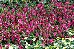 Archangel™ Dark Rose Angelonia (Angelonia angustifolia 'Archangel Dark Rose') at Chalet Nursery