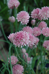 Forescate Chives (Allium schoenoprasum 'Forescate') at Chalet Nursery