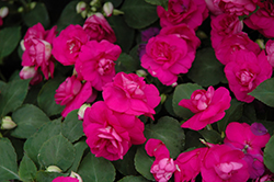 Fiesta Purple Double Impatiens (Impatiens 'Fiesta Purple') at Chalet Nursery