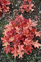 Peach Flambe Coral Bells (Heuchera 'Peach Flambe') at Chalet Nursery