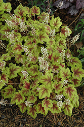Stoplight Foamy Bells (Heucherella 'Stoplight') at Chalet Nursery