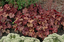 Lava Lamp Coral Bells (Heuchera 'Lava Lamp') at Chalet Nursery