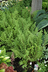 Lady in Red Fern (Athyrium filix-femina 'Lady in Red') at Chalet Nursery