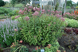 Baby Joe Dwarf Joe Pye Weed (Eupatorium dubium 'Baby Joe') at Chalet Nursery
