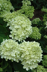 Little Lime Hydrangea (Hydrangea paniculata 'Jane') at Chalet Nursery