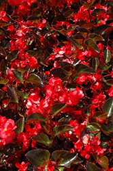 Big® Red Bronze Leaf Begonia (Begonia 'Big Red Bronze Leaf') at Chalet Nursery