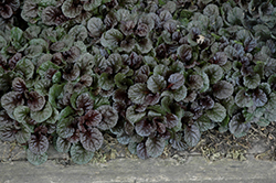 Black Scallop Bugleweed (Ajuga reptans 'Black Scallop') at Chalet Nursery