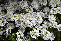 Snowflake Candytuft (Iberis sempervirens 'Snowflake') at Chalet Nursery
