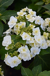 Wedding Gown Hydrangea (Hydrangea macrophylla 'Wedding Gown') at Chalet Nursery
