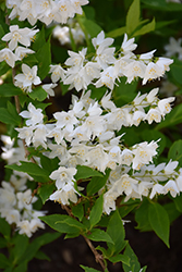 Chardonnay Pearls Deutzia (Deutzia gracilis 'Duncan') at Chalet Nursery