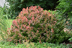 Admiration Japanese Barberry (Berberis thunbergii 'Admiration') at Chalet Nursery