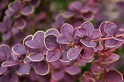 First Editions® Toscana™ Barberry (Berberis thunbergii 'BailJulia') at Chalet Nursery