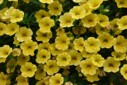 Superbells® Yellow Calibrachoa (Calibrachoa 'Superbells Yellow') at Chalet Nursery