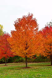 Commemoration Sugar Maple (Acer saccharum 'Commemoration') at Chalet Nursery