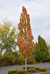 Armstrong Maple (Acer x freemanii 'Armstrong') at Chalet Nursery