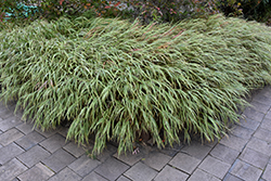 White Striped Hakone Grass (Hakonechloa macra 'Albo Striata') at Chalet Nursery